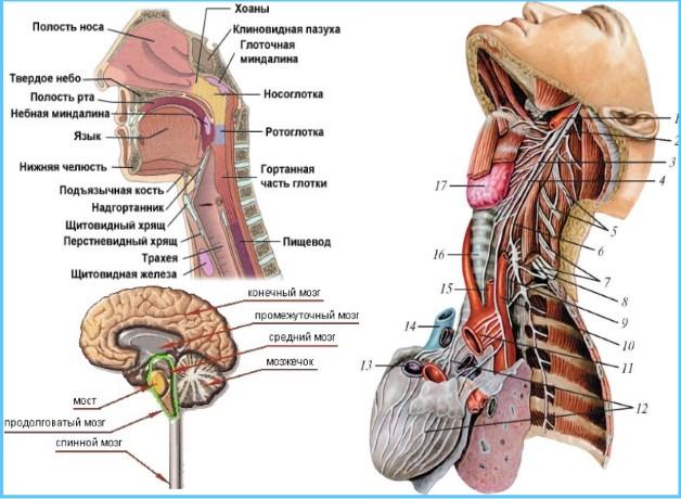 отделы головы и шеи
